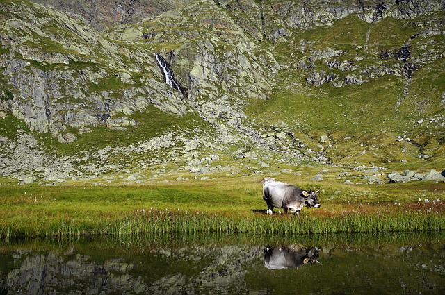 Cow, Cows, Mountain, Cattle, Farm, Pasture, Hay, Nature