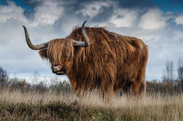 Bull, Cattle, Livestock, Nature, Mammal, Animal, Meadow