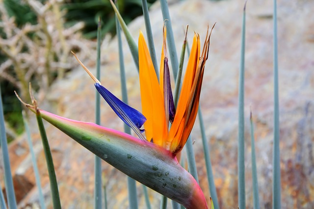 Bird Of Paradise Flower, Caudata, Caudata Greenhouse