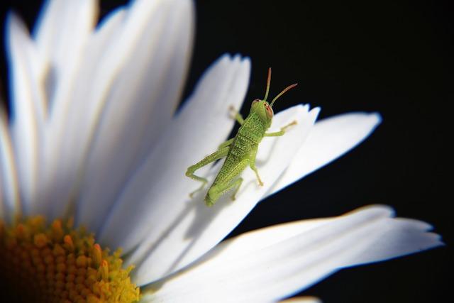 Grasshopper, Cavallettina, Grasshopper On Daisy