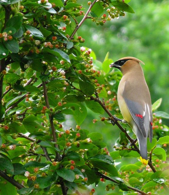 Cedar Waxwing, Bird, Waxwing, Cedar, Feathers, Plumage