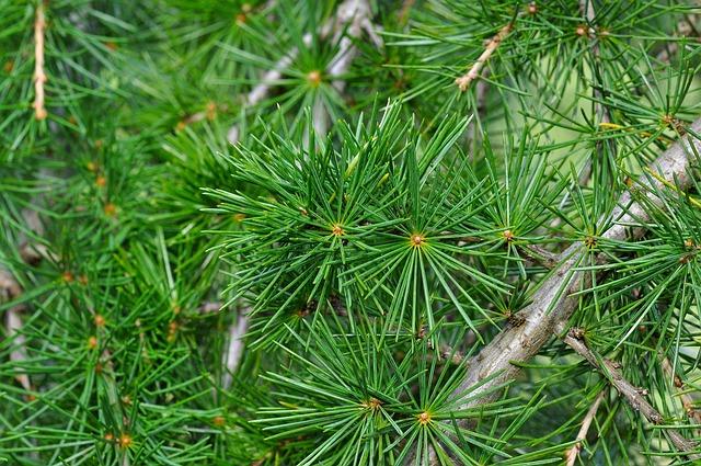 Cedar, Cedar Branch, Branch, Needle, Conifer, Tree