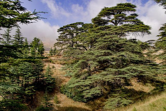 Tree, Cedar, Ancient, Wood, Countryside, Mountain