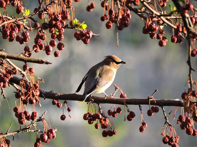 Cedar Waxwing, Waxwing, Bird, Nature, Berry, Branch