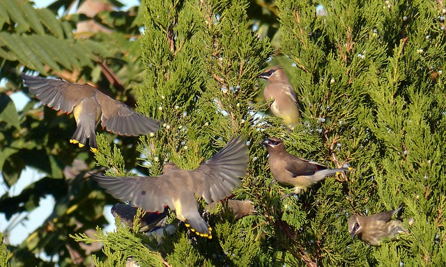 Animals, Birds Vector, Wild, Cedar Waxwings, Color