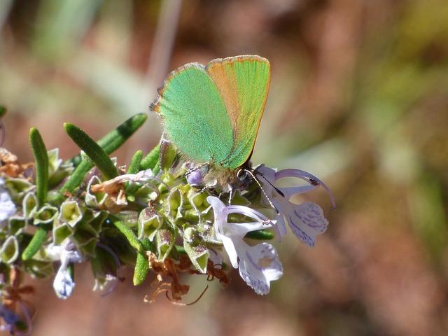 Cejialba, Callophrys Rubi, Butterfly, Butterfly Green