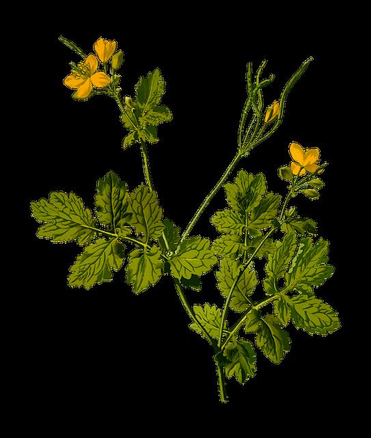 Celandine, Floral, Flower, Herb, Herbal, Medicinal