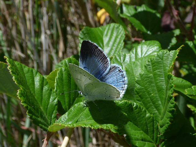 Blue Butterfly, Celastrina Argiolus, Náyade