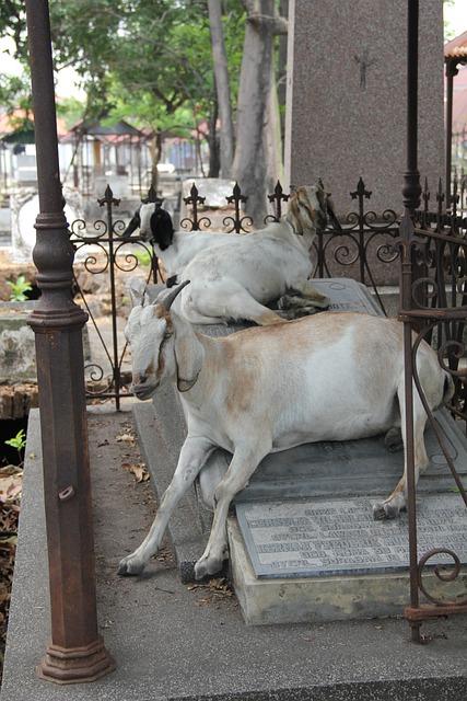 Goat, Cemetery, Surabaya