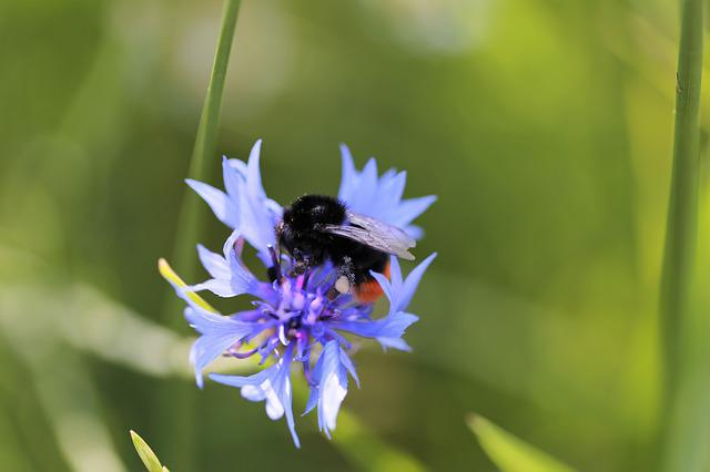 Bumblebee On Cornflower, Centaurea Cyanus, Blue, Meadow