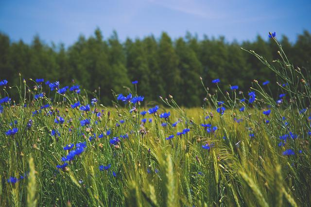 Nature, Blue, Centaurea, Cornflower, Cornflowers