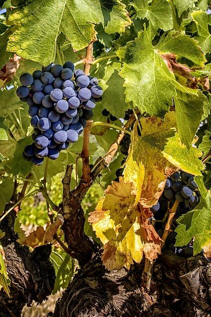 Grape, Cluster, Vine, Vineyard, Vine Leaves, Cep