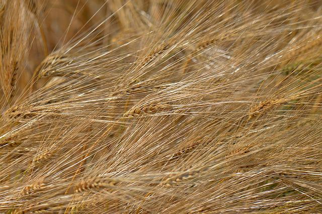 Barley Feed, Cereals, Field, Barley Field, Agriculture