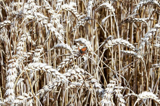 Cereals, Wheat, Straw, Graze, Harvest, Rural, Butterfly