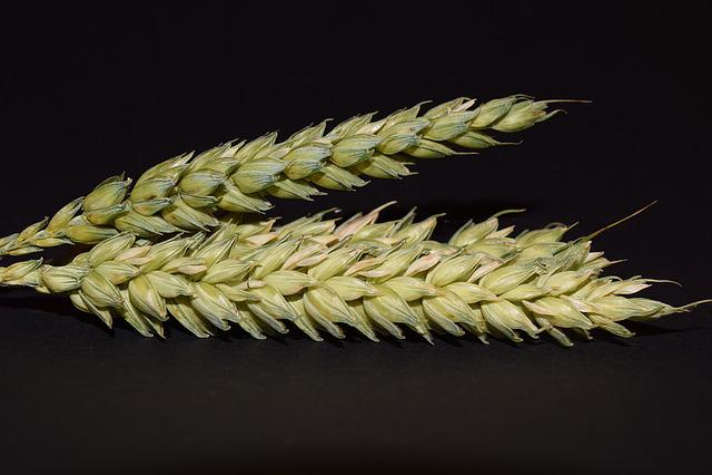 Wheat, Ear, Cereals, Grain, Close