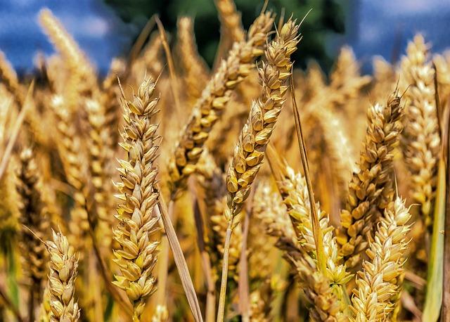 Wheat, Grain, Cereals, Spike, Close, Cornfield, Food
