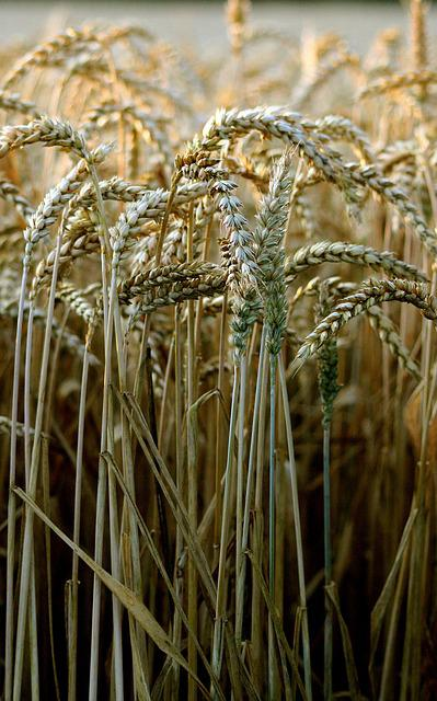 Wheat, Harvest, Bread, Cereals, Seeds, Growth, Nature
