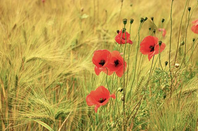 Cereals, Poppy, Poppies, Barley, Barley Field