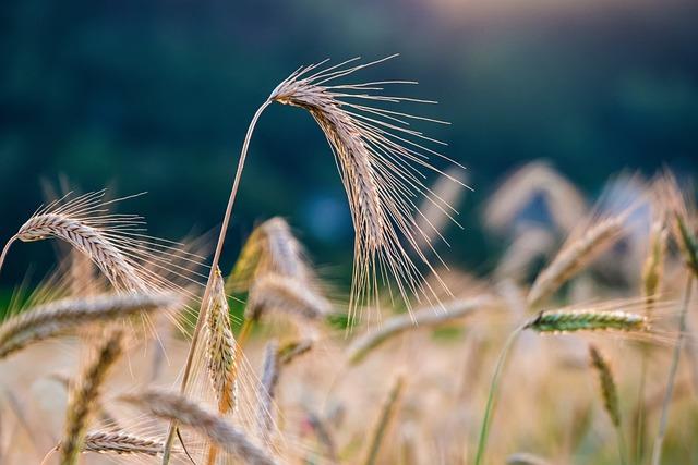 Rye, Cereals, Grain, Rye Field, Nature, Spike, Crop