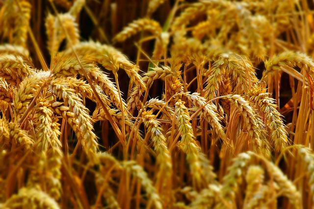 Wheat, Wheat Field, Wheat Spike, Spike, Cereals, Grain