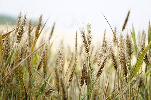 Wheat, Wheat Field, Cornfield, Summer, Cereals, Spike