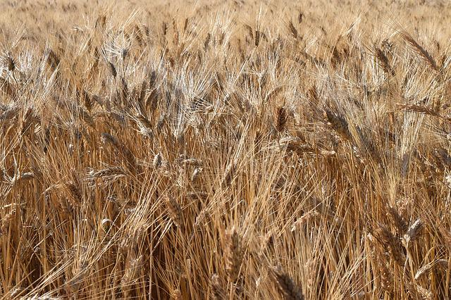 Grain, Wheat, Wheat Field, Durum Wheat, Cereals