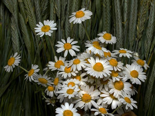 Flowers, Cereals, Roe, Wild Margareten, Ear