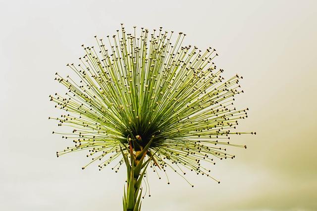 Flower, Chuveirinho, Cerrado