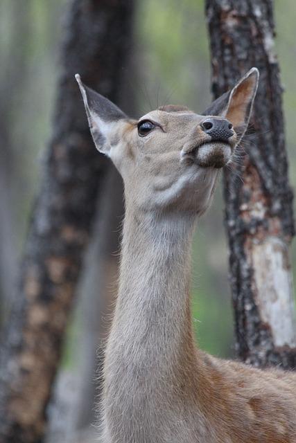 Deer, Spotted Deer, Cervus Nippon, Wild Animal, Nature