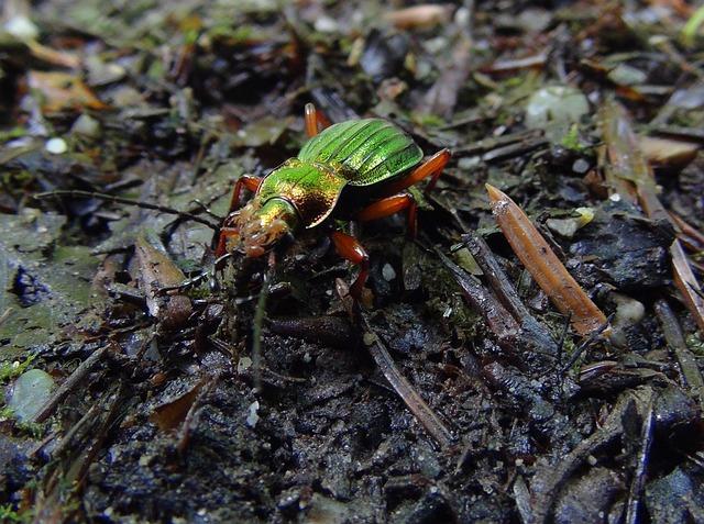 Cetonia Ground Beetles, Beetle, Carabus Auronitens