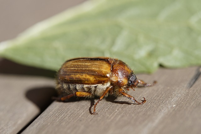 Chafer, Crawl, June, Summer, Animal, Insect, Beetle