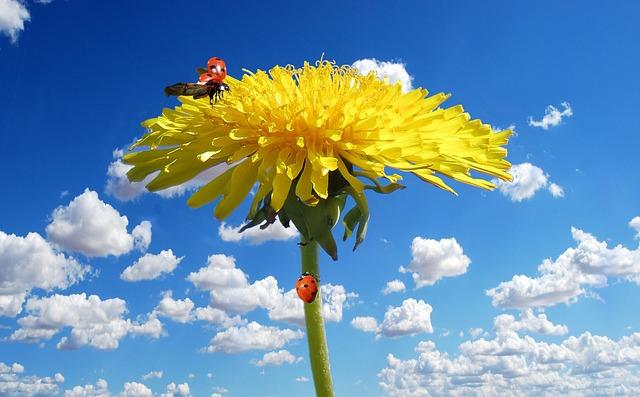 Flower, Blossom, Bloom, Dandelion, Chafer, Spring