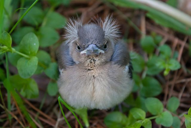 Bird, Chick, Chaffinch, Nature