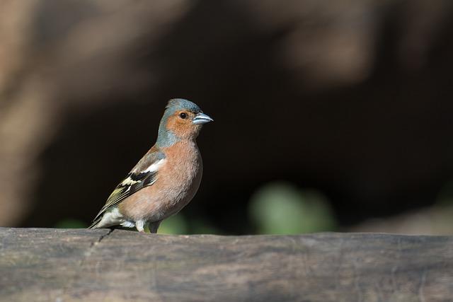 Chaffinch, Bird, Fringilla Coelebs, Songbird, Animal