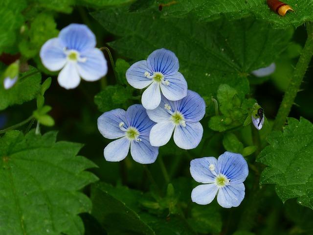 Chamaedrys, Flower, Blossom, Bloom, Blue, White