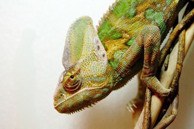 Yemen Chameleon, Chamaeleo Calyptratus, Chameleon