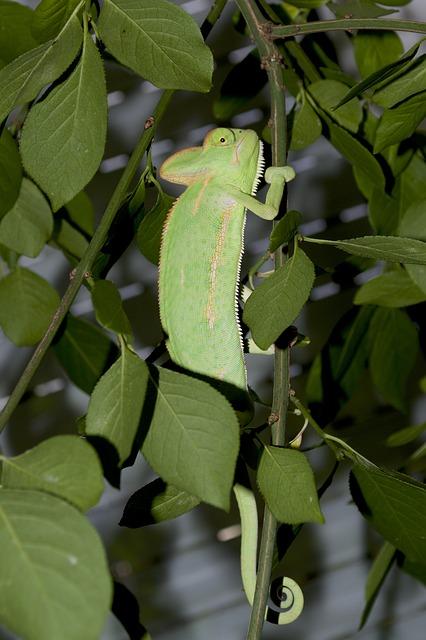 Chameleon, Camouflage, Leaves, Common Chameleon, Green