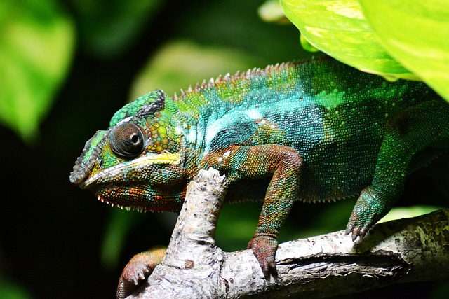 Chameleon, Lizard, Reptile, Green, Scales