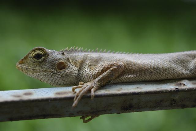 Lizard, Chameleon, Reptile, Animal, Wildlife, Nature