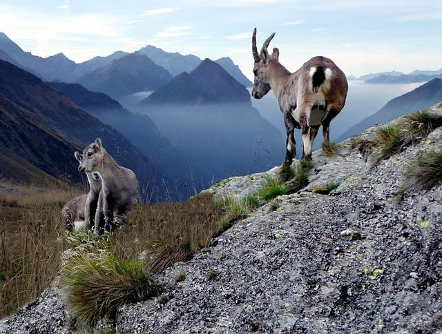 Chamois With Young Animals, High Mountains, Switzerland