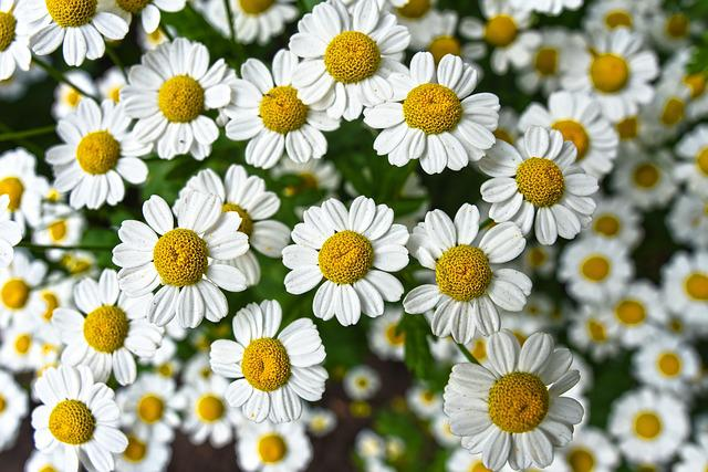 Chamomile, Flower, Plant, Bloom, Herbal, Naturopathy