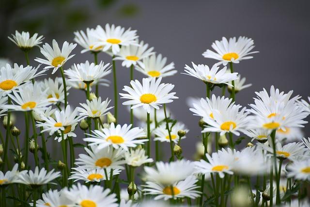 Chamomile, Flower, Nature, Plant, Blossom, Bloom, Bloom