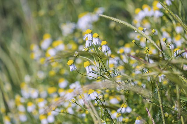 Genuine Chamomile, Chamomile Blossoms, Blossom, Bloom