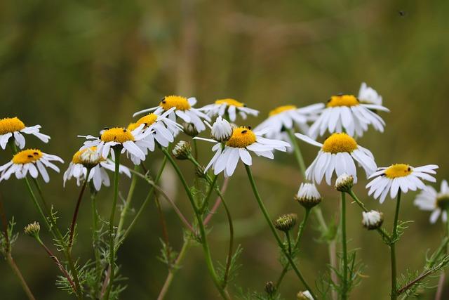 Chamomile, Chamomile Blossoms, Medicinal Plant