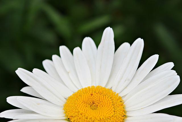 Chamomile, Blossom, Flower, Yellow, White, Plant