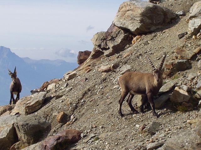 Capricorn, Ibex, Mountains, Animals, Chamonix