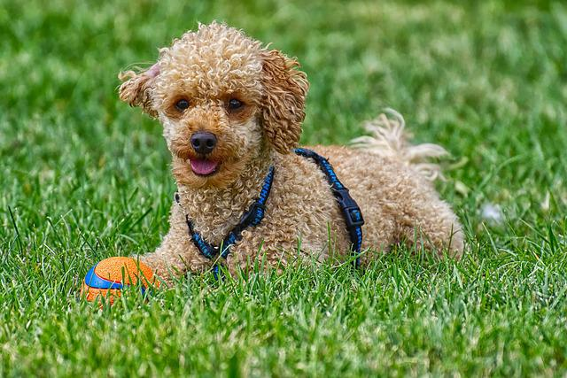 Poodle, Dog, Pet, Cute, Play, Charming, Animal