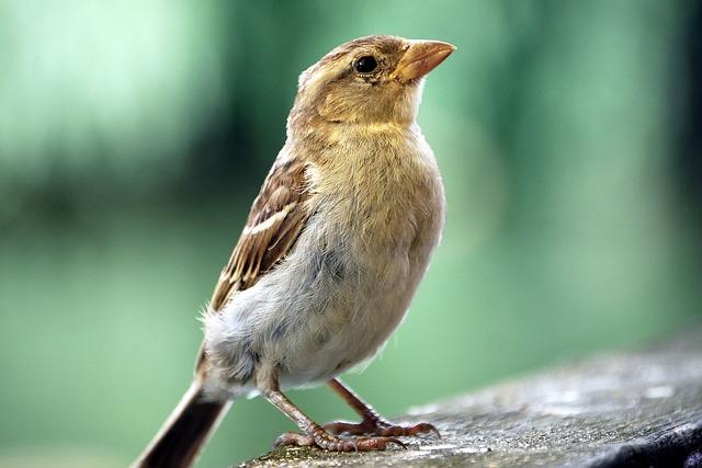 Sparrow, Sperling, Bird, Cheeky, Bitch