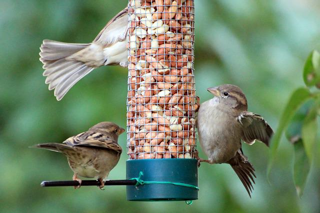 Sparrows, Birds, Food, Songbird, Nature, Garden, Cheeky