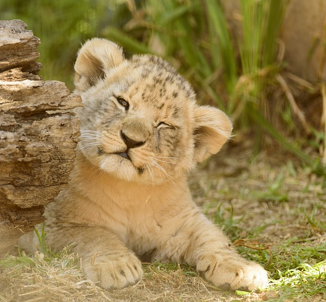 Lion Cub, Adorable, Cute, Close, Eyes, Wink, Cheerful
